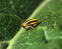 Ozone masks plant's volatiles, plant eating insects confused